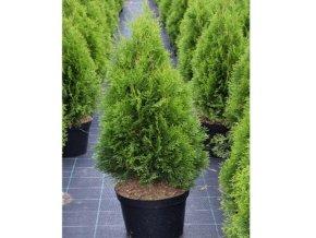 Thuja occidentalis Smaragd - Zerav pro živé ploty vyšší