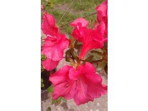 Azalka - v mnoha barevných odrůdách