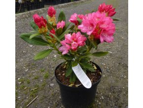 Rhododendron - v mnoha barevných odrůdách