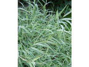 Phalaris arundinacea - Chrastice rákosovitá, žíhaný list