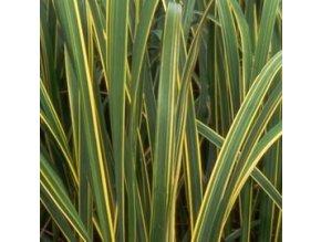 Spartina pectinata Aureomarginata - Spartina, žíhaný list