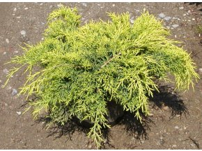 Juniperus x pfitzeriana Old Gold - jalovec žlutolistý