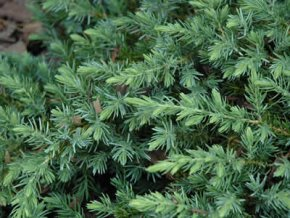 Juniperus conferta Blue Pacific - Jalovec