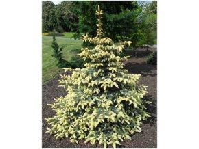 Picea pungens Bialobok - smrk se žlutými přírůstky