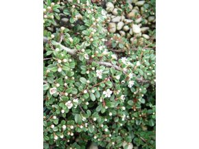 Cotoneaster procumbens Queen of Carpet - Poléhavý skalník