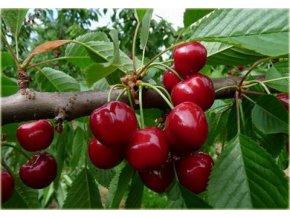 Prunus avium Kordia - třešeň