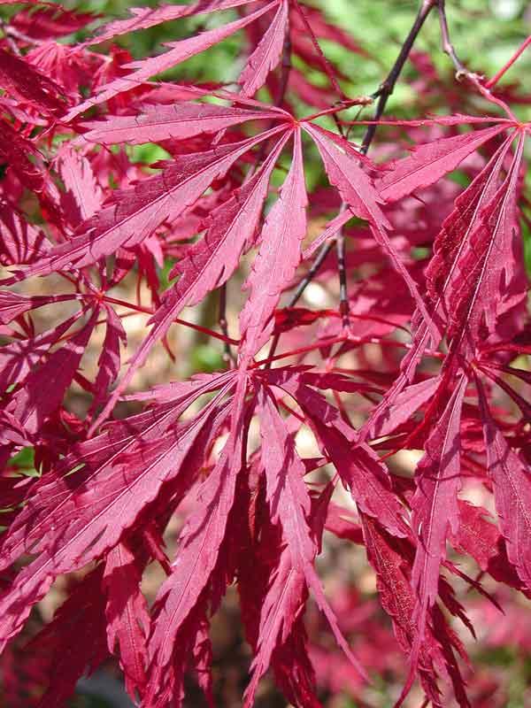 Acer palmatum Tamuke Yama - Japonský javor