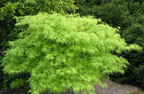 Acer palmatum Viridis - Japonský javor