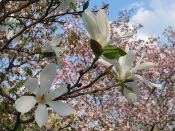 Magnolia kobus - Magnolie, strom