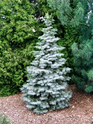 Abies concolor Fastigiata - Jedle vzpřímená