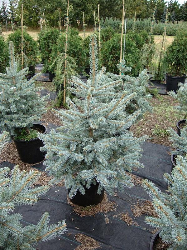 Picea pungens Fat Albert - Smrk stříbrný