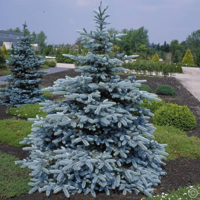 Picea pungens Hoopsii - Stříbrný smrk