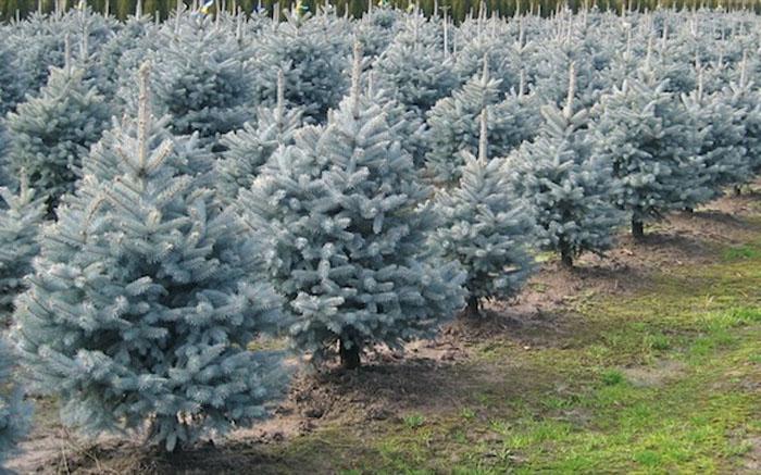 Picea pungens Spack - Stříbrný smrk