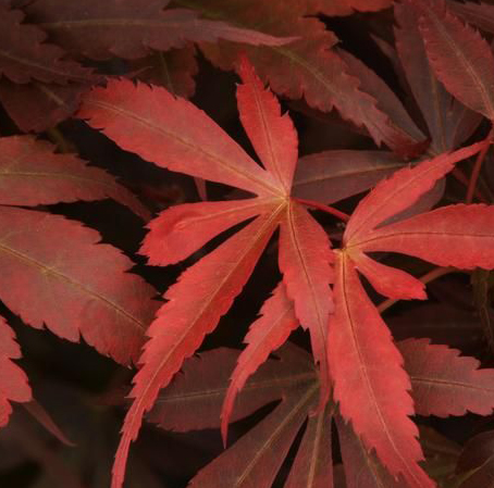 Acer palmatum Sumi Nagashi