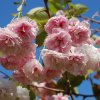 prunus shirofugen tree p3380 24339 image