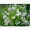 Deutzia gracilis - Trojpuk
