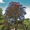 Fagus sylvatica Atropunicea - Buk lesní, červenolistý