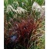 Miscanthus sinensis - Ozdobnice v mnoha odrůdách