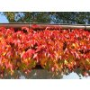 Parthenocissus tricuspidata Veitchii  - Psí víno