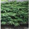 Juniperus communis Repandens - Jalovec