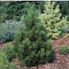 Pinus leucodermis Malinki - Borovice