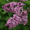 Syringa vulgaris Sensation - Šeřík - dvoubarevný květ