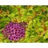 Spiraea japonica Firelight - Tavolník, žlutý list