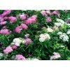 Spiraea japonica Shirobana - tavolník dvoubarevny kvet