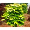 Acer platanoides Golden Globe - Javor žlutolistý, kulovitý