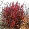 Berberis thunbergii - Dřišťál v odrůdách