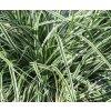 Carex - ostřice v mnoha barevných kultivarech