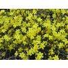 Jasminum nudiflorum - Jasmín, popínavka