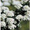 Spiraea nipponica Snowmound - tavolník