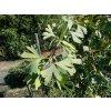Ginkgo biloba Boleslaw Chrobry Weeper - Jinan