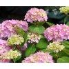 Hydrangea macrophylla - Hortenzie
