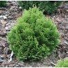 Chamaecyparis lawsoniana Minima Glauca - Zakrslý cypřišek