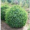 Picea omorika Nana - zakrslý smrk