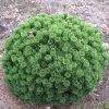 Pinus mugo Sherwood´s Compact - zakrslá borovice