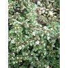 Cotoneaster procumbens Queen of Carpet - Poléhavý skalník