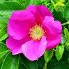 Rosa rugosa - Růže