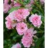 Rosa - růže miniaturní