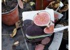 Ostatní ovocné druhy (fíky, kiwi atd.)