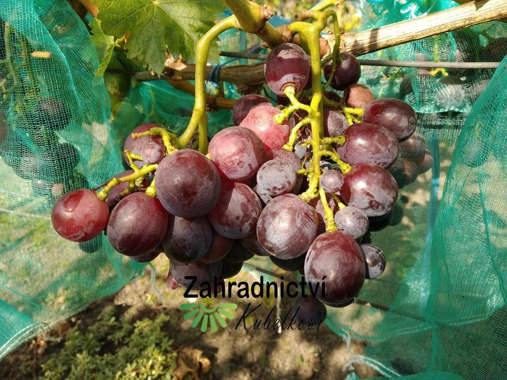 Vinná réva stolní - 'Red Globe' - PROSTOKOŘENÁ