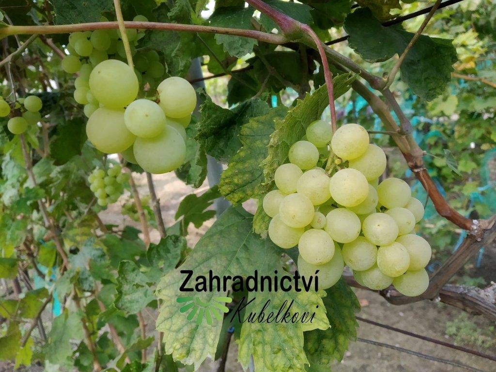 Vinná réva stolní - 'Talisman' - PROSTOKOŘENÁ