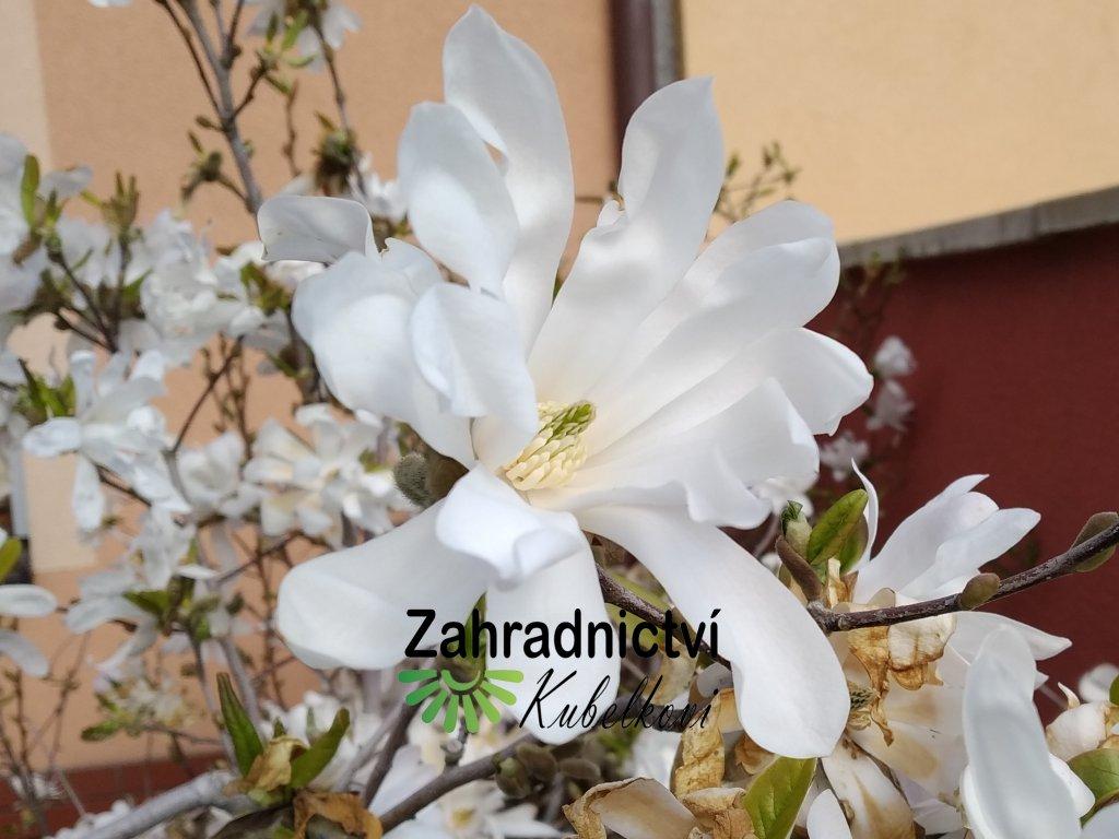 Šácholan hvězdokvětý - Magnolia stellata 'Royal Star'