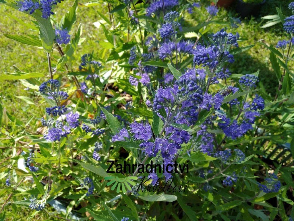 Ořechokřídlec clandonský 'Heavenly Blue' - Caryopteris clandonensis 'Heavenly Blue'