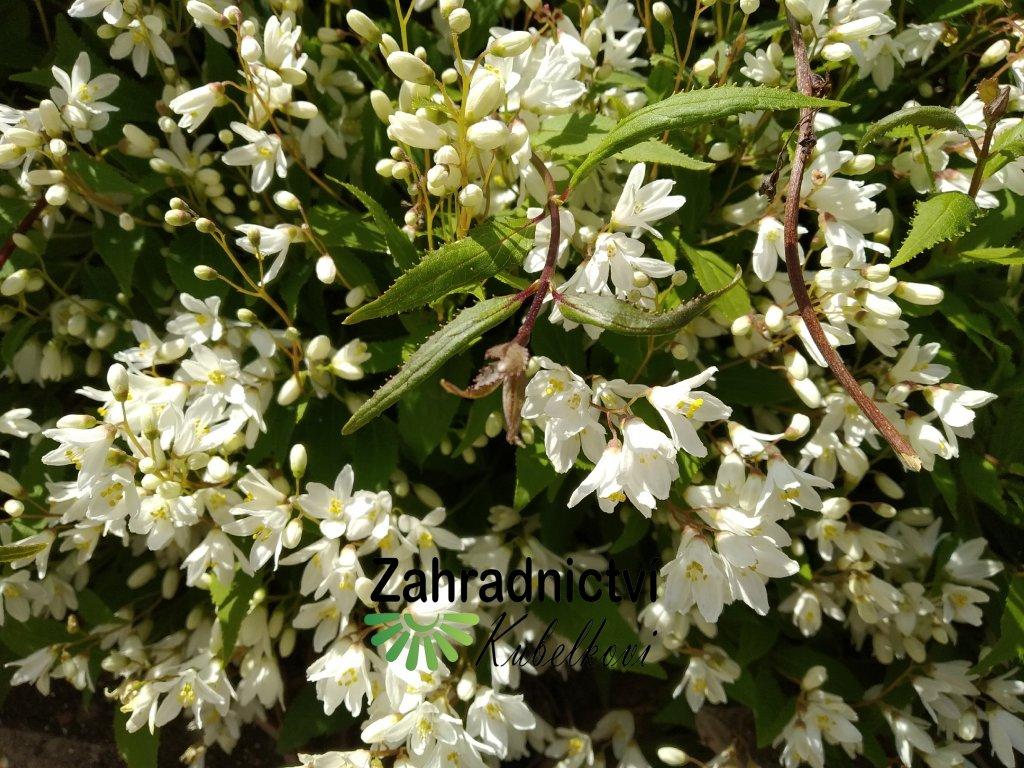 Trojpuk něžný - Deutzia gracilis 1,5 l