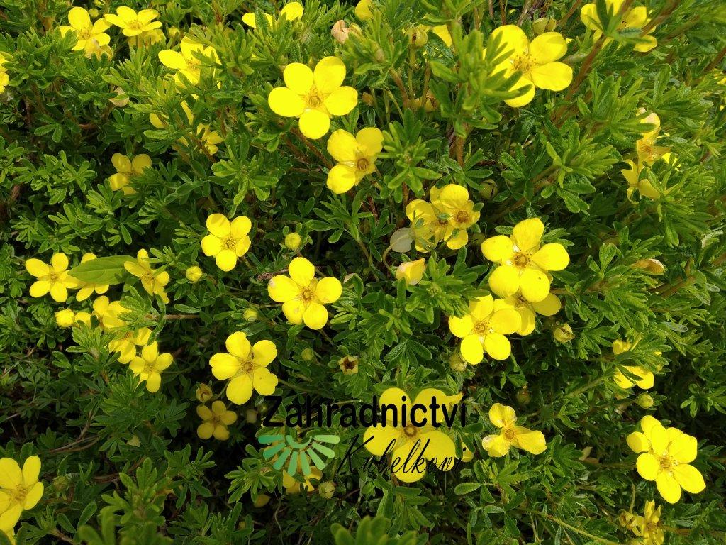 Mochna křovitá - Potentilla fruticosa 'Goldkissen'
