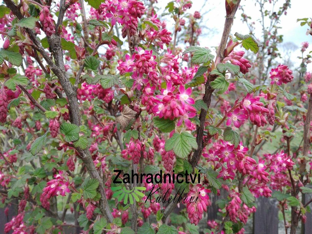 Meruzalka krvavá - Ribes sanguineum 'King Edward VII.'