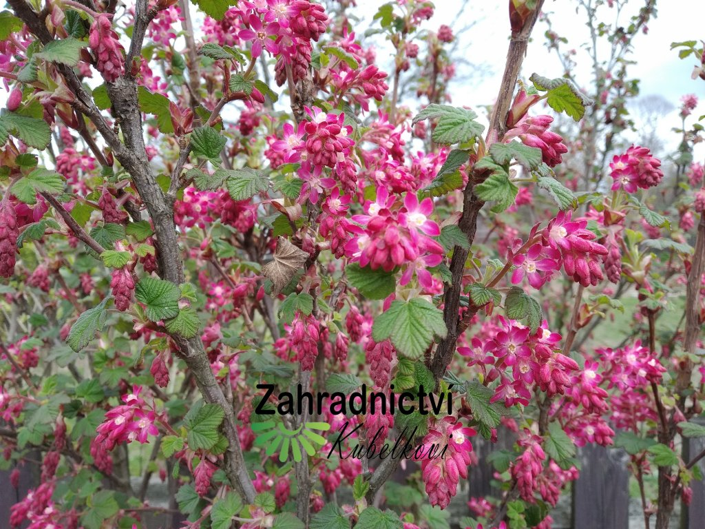 Meruzalka krvavá - Ribes sanguineum 'King Edward VII.' 1,5 l